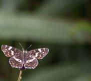 araschnia蝴蝶捷克levana映射共和国 免版税库存照片