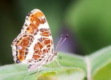 araschnia蝴蝶捷克levana映射共和国 库存照片