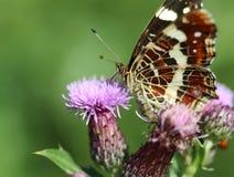 araschnia蝴蝶捷克levana映射共和国 免版税库存图片