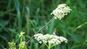Araschnia jeż i motyl latamy na roślinie rozkaz Umbelliflorae zbiory wideo