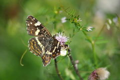 Araschnia levana butterfly summer generation. Typical butterfly of middle european fields and meadows Stock Photos