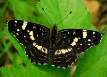 Araschnia levana prorsa. Beautiful butterfly living color Stock Photos