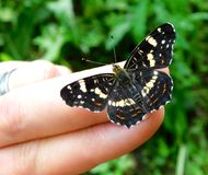 Araschnia levana prorsa. Beautiful butterfly living color, on my hand Stock Images