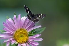 Araschnialevana op callistephus, chinensis in bloei, één bloem en één donkere vlinder stock fotografie
