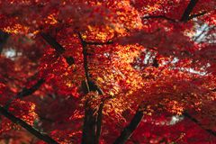 Arashiyama is Autumn season late november and colorful Leaf such. Arashiyama is a district on the western outskirts of Kyoto, Japan. It also refers to the Stock Image