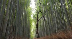 Arashiyama bamboo forest stock image