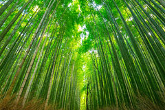 Arashiyama bamboo forest in Kyoto. Japan Royalty Free Stock Image