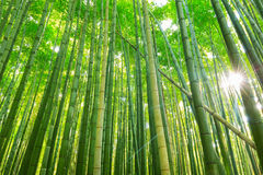 Arashiyama bamboo forest in Kyoto. Japan Royalty Free Stock Photography