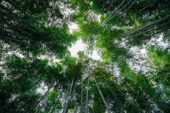 Arashiyama bamboo forest in Japan. Arashiyama bamboo forest in Kyoto, Japan Royalty Free Stock Image