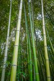 Arashiyama bamboo forest, Kyoto, Japan. Arashiyama bamboo forest in Sagano, Kyoto, Japan Royalty Free Stock Image