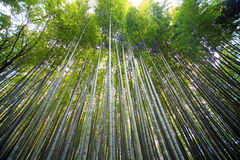 Arashiyama bamboo forest trails Royalty Free Stock Image