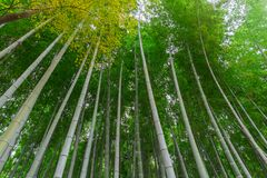 Arashiyama bamboo forest in travel kyoto. Japan Royalty Free Stock Image