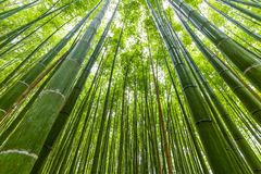 Arashiyama bamboo forest uprisen angle view. In Kyoto old town, Japan Royalty Free Stock Image