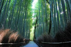 Arashiyama Bamboo Grove . Bamboo Forest . Kyoto . Japan Stock Photography