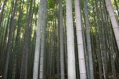 Arashiyama Bamboo Grove . Bamboo Forest . Kyoto . Japan Royalty Free Stock Photo