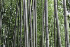 Arashiyama Bamboo Grove . Bamboo Forest . Kyoto . Japan Royalty Free Stock Photography