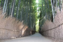Arashiyama Bamboo Grove . Bamboo Forest . Kyoto . Japan Royalty Free Stock Image