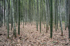 Arashiyama Bamboo Grove Royalty Free Stock Photography