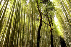 Arashiyama Bamboo Grove, Kyoto, Japan Royalty Free Stock Image