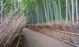 The Arashiyama Bamboo Grove of Kyoto, Japan. Royalty Free Stock Photography