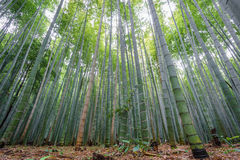 The Arashiyama Bamboo Grove of Kyoto, Japan. Stock Image