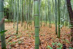 The Arashiyama Bamboo Grove of Kyoto, Japan. Royalty Free Stock Photos