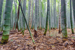 The Arashiyama Bamboo Grove of Kyoto, Japan. Royalty Free Stock Photo