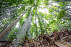 The Arashiyama Bamboo Grove of Kyoto, Japan. Stock Photos
