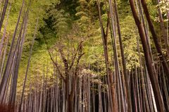 Arashiyama Bamboo Grove Zen garden light up at night royalty free stock photos