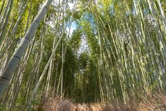 Arashiyama Bamboo Grove Zen garden, a natural forest of bamboo in Arashiyama, Kyoto stock photo