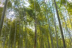 Arashiyama Bamboo Grove Zen garden, a natural forest of bamboo in Arashiyama, Kyoto royalty free stock photo