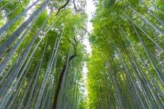 Arashiyama Bamboo Grove Zen garden, a natural forest of bamboo in Arashiyama, Kyoto. Japan royalty free stock images