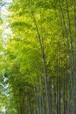 Arashiyama Bamboo Grove Zen garden, a natural forest of bamboo in Arashiyama, Kyoto stock image