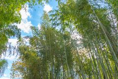 Arashiyama Bamboo Grove Zen garden, a natural forest of bamboo in Arashiyama, Kyoto royalty free stock image