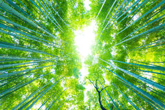 Arashiyama Bamboo Trees Radial Looking Directly Up. Low angle radial view looking directly up of tall green bamboo trees at Arashiyama Bamboo Grove forest in stock photography