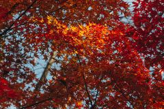 Arashiyama is Autumn season late november and colorful Leaf such. Arashiyama is a district on the western outskirts of Kyoto, Japan. It also refers to the Stock Photos