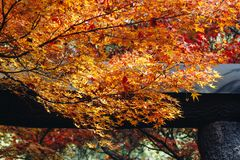 Arashiyama is Autumn season late november and colorful Leaf such. Arashiyama is a district on the western outskirts of Kyoto, Japan. It also refers to the Royalty Free Stock Photo