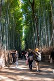 Tourist walking in Bamboo Forest royalty free stock photos