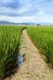 A pathway runs through a field of rice growing near Arashiyama Japan. Arashiyama, Kyoto / Japan - 07/27/2017: Green shoots of rice grow in the paddy fields and Royalty Free Stock Photography