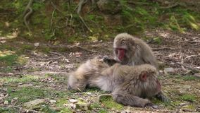 Arashiyama Kyoto monkeys. Japanese macaques getting their fur combed each other at Iwatayama Monkey Park of Arashiyama town in Kyoto prefecture, Japan. Macaca stock video footage