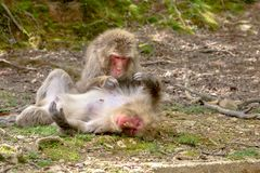 Arashiyama Kyoto monkeys. Japanese macaques getting their fur combed each other at Iwatayama Monkey Park of Arashiyama town in Kyoto prefecture, Japan. Macaca Royalty Free Stock Photos