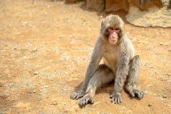 Arashiyama monkey Kyoto. Macaca fuscata monkey or Japanese macaque sitting on the ground at Iwatayama Monkey Park of Arashiyama town in Kyoto prefecture, Japan Stock Photo