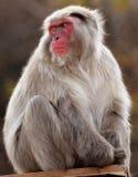 Arashiyama Monkey Park Iwatayama. Is a wild moneky at arahiyama mountain, Kyoto japan Royalty Free Stock Photos