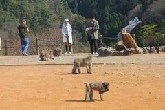 Arashiyama monkeys. KYOTO, JAPAN - APRIL 17, 2012: Visitors take photos in Arashiyama, Kyoto, Japan. Iwatayama Monkey Park is famous for wild Japanese macaque Stock Photos