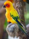 Aratinga. Parrot in the aviary Stock Photos