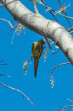 Aratinga bird clinging to a branch with some flowers. Stock Images