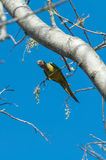 Aratinga bird clinging to a branch with some flowers. Stock Photos