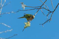 Aratinga bird clinging to a branch with some flowers. Royalty Free Stock Photography