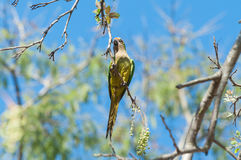 Aratinga bird clinging to a branch with some flowers. Royalty Free Stock Photos