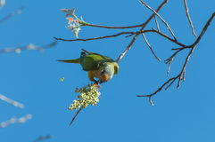Aratinga bird clinging to a branch to eat some flowers. Stock Images